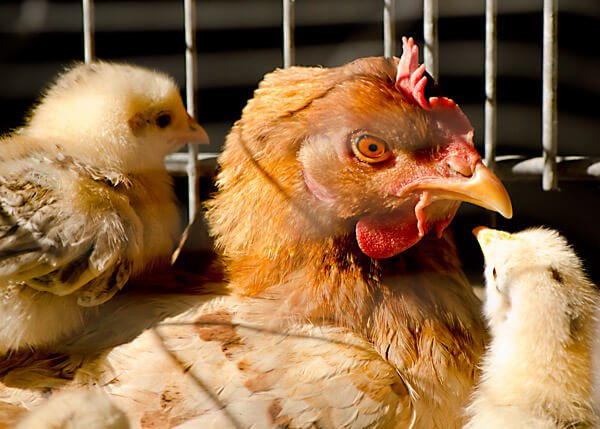 egg-production-industry-1