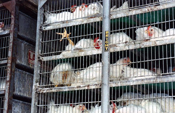 egg-production-industry-16