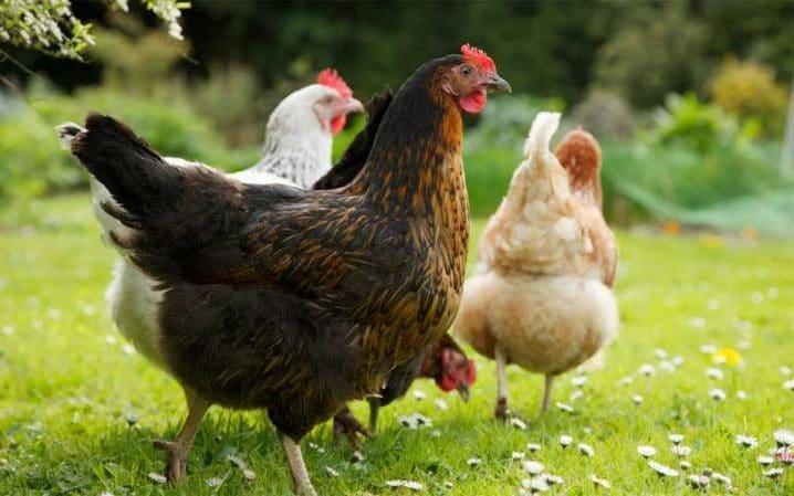 chicken-field