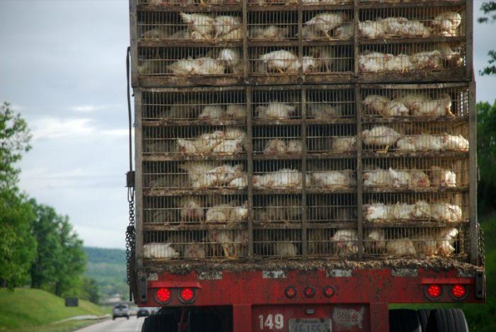 chicken-truck
