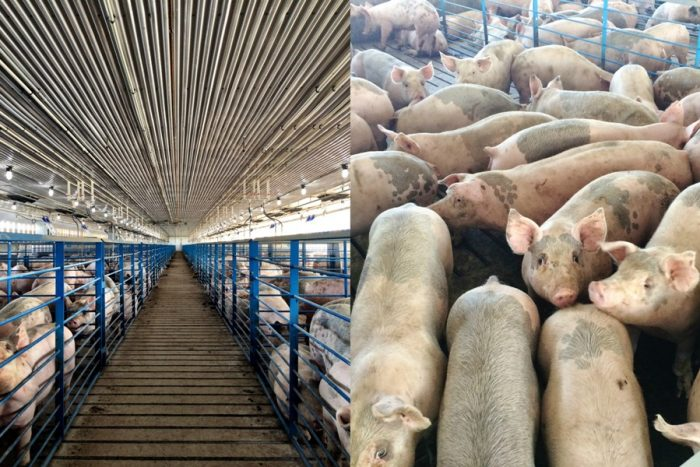Disturbing Facts About the Pork Industry Nobody Told You Before