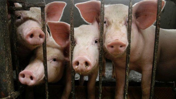 pig-industry-2