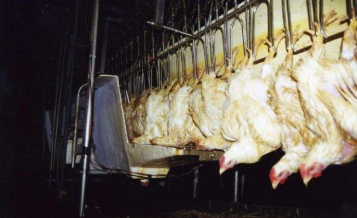 water-bath-stunner-chicken-industry