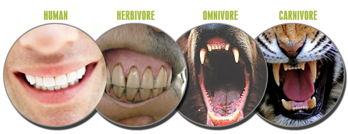 comparison-canine-teeth