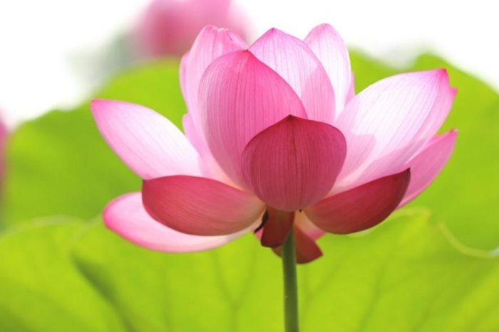 pink-lotus-flower