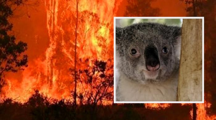 koalas-wildfires-australia