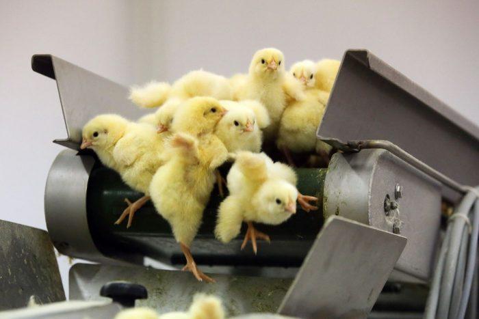 egg industry